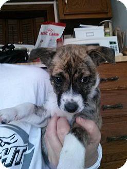 Border Collie/Labrador Retriever Mix Puppy for adoption in Fenton, Missouri - Kya