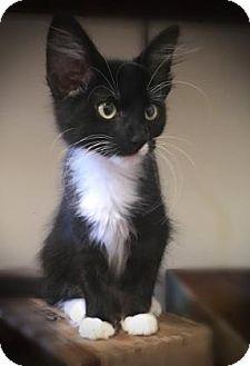Domestic Shorthair Kitten for adoption in Wichita, Kansas - Pippy