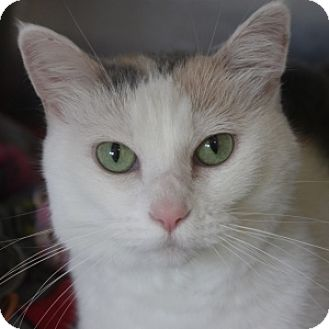 Domestic Shorthair Cat for adoption in Naperville, Illinois - Keke