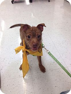 Wirehaired Fox Terrier/Chihuahua Mix Puppy for adoption in Lakeville, Minnesota - Hufflepuff