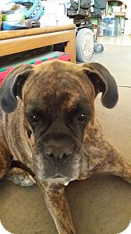 Boxer Mix Dog for adoption in Las Vegas, Nevada - Lola