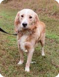 Labrador Retriever Mix Dog for adoption in Columbus, Georgia - Flanders 3971
