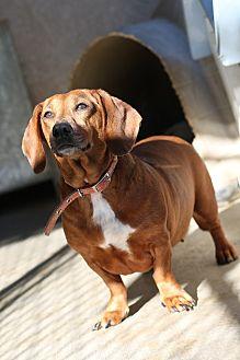 Dachshund Dog for adoption in Acton, California - Sangria