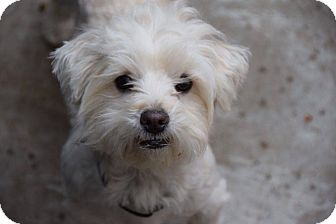 Maltese Dog for adoption in Santa Barbara, California - Milo