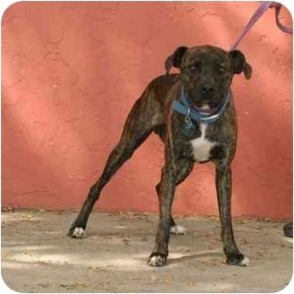 Boxer Mix Dog for adoption in Denver, Colorado - Macks
