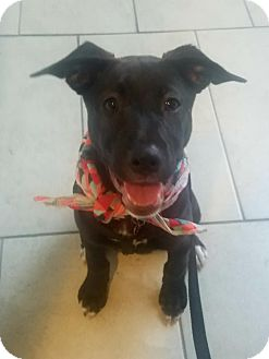 Labrador Retriever Mix Puppy for adoption in Hialeah, Florida - Star
