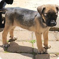 Adopt A Pet :: Patriot - Bedford, VA
