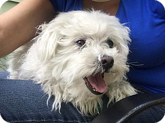 Maltese Dog for adoption in Belleville, New Jersey - Shashi