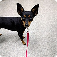 Adopt A Pet :: Emmi - Hazelwood, MO