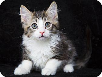 Maine Coon Kitten for adoption in Nashville, Tennessee - Twinkie