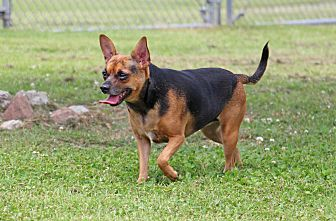 Chihuahua/Terrier (Unknown Type, Small) Mix Dog for adoption in Savannah, Tennessee - Xenia