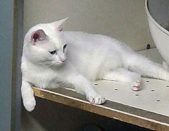 Domestic Shorthair Cat for adoption in Rock Hill, South Carolina - Lilly