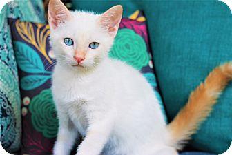 Siamese Kitten for adoption in Nashville, Tennessee - Calloway