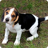 Adopt A Pet :: PUPPY FRECKLES - Norfolk, VA