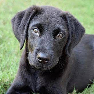 Labrador Retriever Mix Puppy for adoption in CUMMING, Georgia - Stig