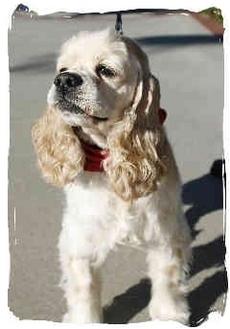 Cocker Spaniel Dog for adoption in San Diego, California - Kiana