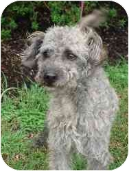 Poodle (Miniature)/Terrier (Unknown Type, Medium) Mix Dog for adoption in Brenham, Texas - Shadow