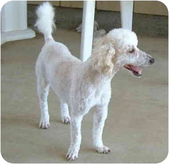 Poodle (Miniature) Dog for adoption in San Diego (all areas), California - Andy-I'VE BEEN ADOPTED!!!