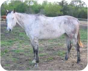 Thoroughbred for adoption in Sugar Land, Texas - Sterling