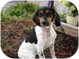 Beagle/Blue Heeler Mix Dog for adoption in Broomfield, Colorado - Liberty