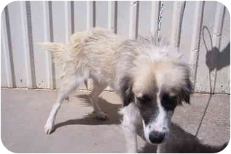 Australian Shepherd Mix Dog for adoption in Broomfield, Colorado - 1Candie