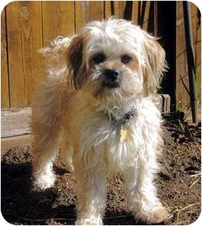 Shih Tzu/Terrier (Unknown Type, Small) Mix Dog for adoption in Los Angeles, California - YAHOO