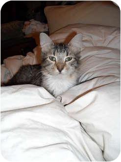 Domestic Longhair Cat for adoption in Irvine, California - Whitney