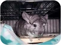 Chinchilla for adoption in Avondale, Louisiana - Oscar