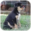 Photo 2 - Shepherd (Unknown Type)/Collie Mix Puppy for adoption in Windham, New Hampshire - Lettuce