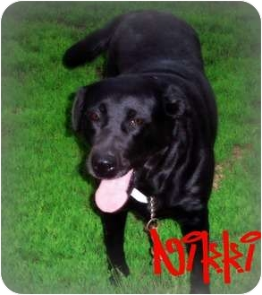 Labrador Retriever/Golden Retriever Mix Dog for adoption in Watertown, South Dakota - Nikki