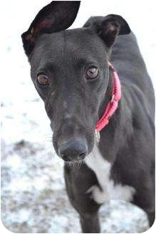 Greyhound Dog for adoption in Chagrin Falls, Ohio - Goody (Where's Goodness)