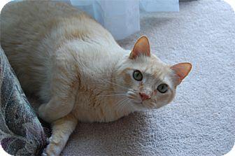 Domestic Shorthair Cat for adoption in Laguna Woods, California - Cougar