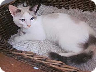 Siamese Kitten for adoption in Davis, California - Alexi