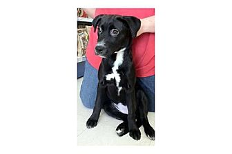 Labrador Retriever/Shepherd (Unknown Type) Mix Puppy for adoption in Pompton Lakes, New Jersey - Ethel