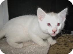 Domestic Shorthair Kitten for adoption in Shelton, Washington - Antonette