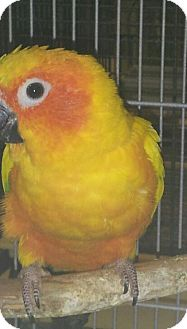 Conure for adoption in Punta Gorda, Florida - Mango