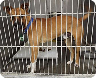 Boxer/Pit Bull Terrier Mix Dog for adoption in San Diego, California - Bronco URGENT