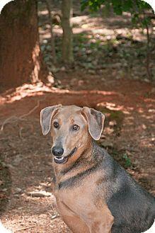 Doberman Pinscher/Weimaraner Mix Dog for adoption in Manassas, Virginia - Layla