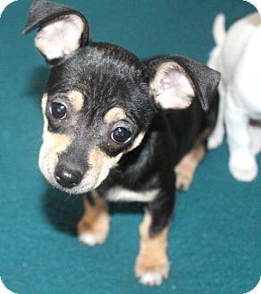 Chihuahua Mix Puppy for adoption in Bellflower, California - JoJo