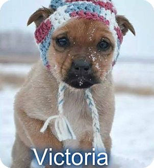 Husky/Collie Mix Puppy for adoption in Regina, Saskatchewan - Vicotia