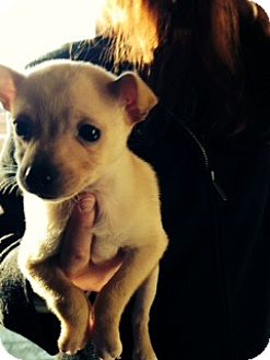 Pomeranian/Chihuahua Mix Puppy for adoption in Bellingham, Washington - Chewy