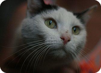 Domestic Shorthair Cat for adoption in Canoga Park, California - Samantha