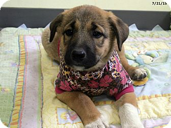 Border Collie/Maremma Sheepdog Mix Puppy for adoption in Republic, Washington - Colby