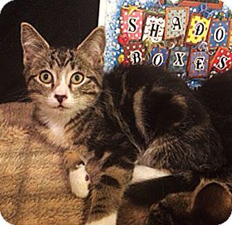 Domestic Shorthair Kitten for adoption in N. Billerica, Massachusetts - Peppermint Patty