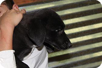 Labrador Retriever/Border Collie Mix Puppy for adoption in Harmony, Glocester, Rhode Island - EIGHT!