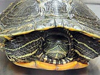 Turtle - Other for adoption in Wildomar, California - SPEEDY