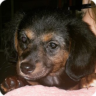 Dachshund/Chihuahua Mix Puppy for adoption in Homewood, Alabama - Mac