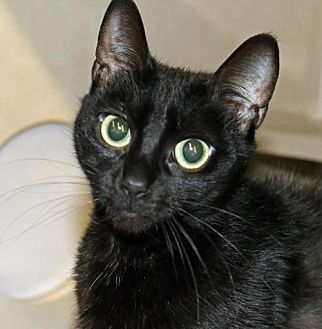Domestic Shorthair Cat for adoption in Asheville, North Carolina - Isabelle