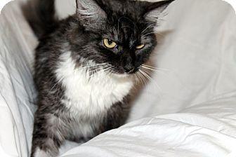 Domestic Mediumhair Cat for adoption in Las Vegas, Nevada - Bernadette