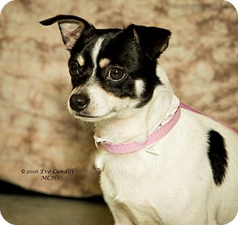 Chihuahua/Terrier (Unknown Type, Small) Mix Dog for adoption in Martinsville, Indiana - Karate Chop